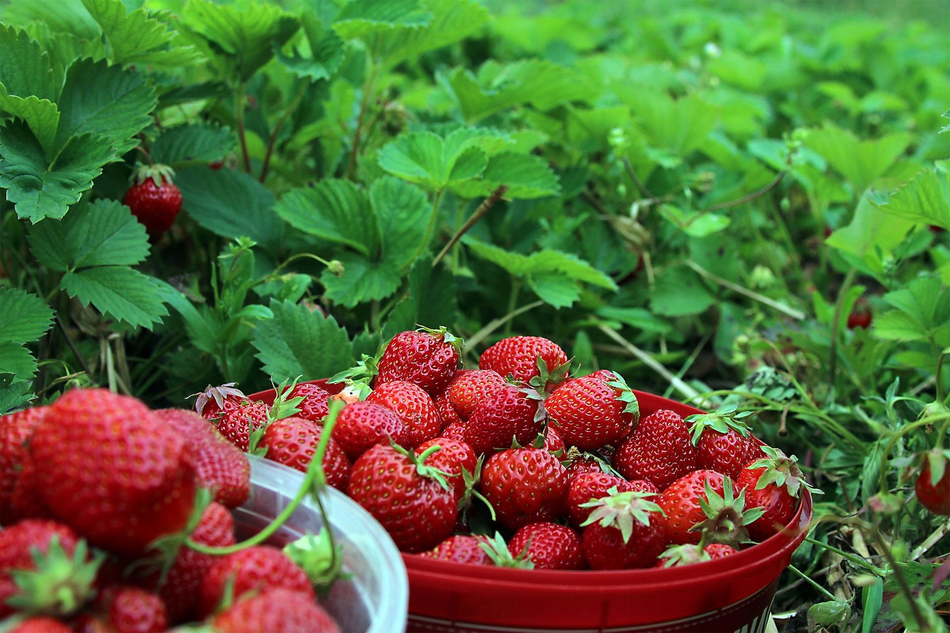 strawberries-1467902_1920