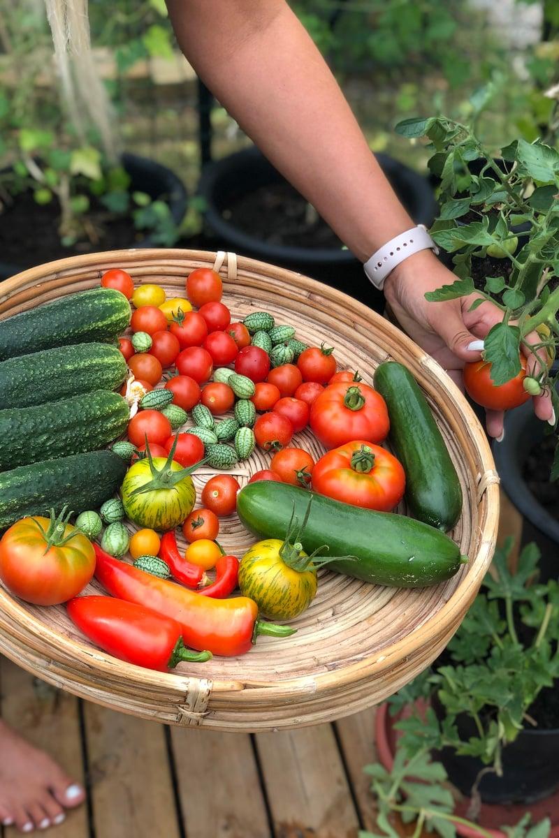 Egen skördade tomater och gurkor